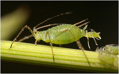 Aphids Insect