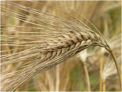 canadian barley and wheat 1