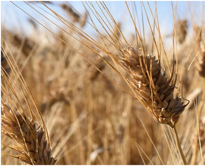 canadian barley and wheat 2