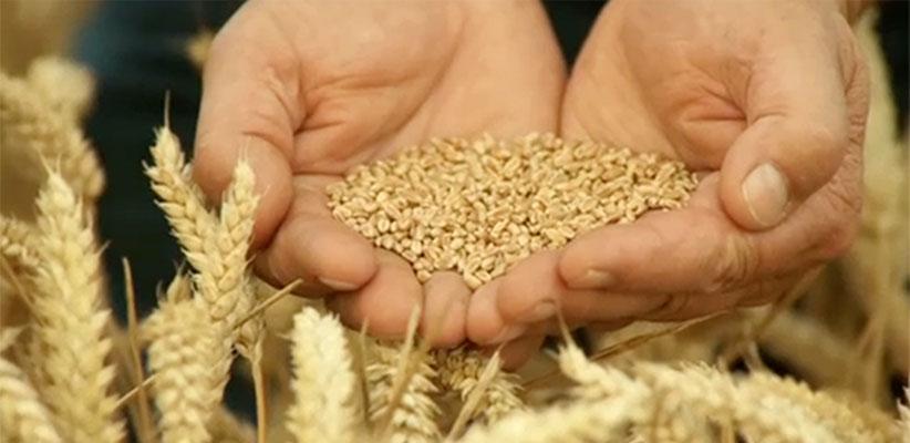 Canadian Grain Exports Crisis